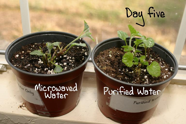 plants grown in microwave radiated water see the results
